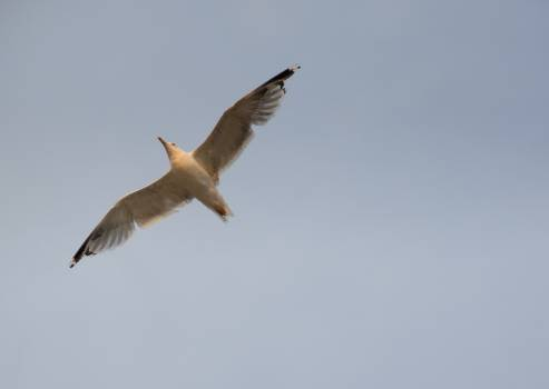 Flying Seagull - free stock photo #399486