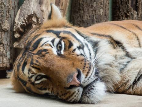 Tiger Lying On The Ground In The Zoo - free stock photo #399515