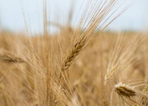 Dry Field Before Harvest - free stock photo #399535