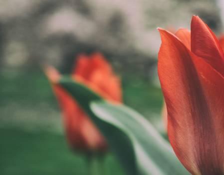 Red tulips – nature art - free stock photo #399897