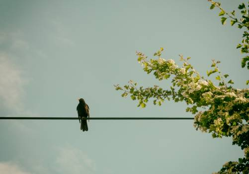 Blackbird sitting on the power line - free stock photo #399910