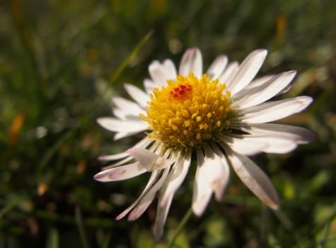 Daisy flower - free stock photo #399918