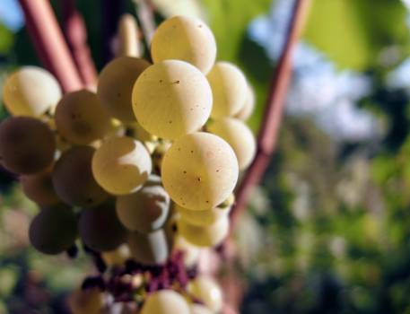 Bunch of Wine Grapes - free stock photo #400050