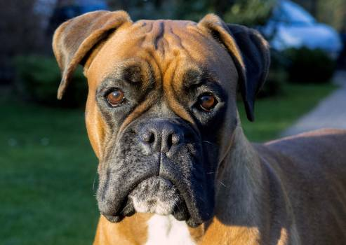 Boxer dog face - free stock photo #400066