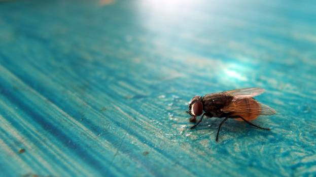 Beautiful fly on the blue table - free stock photo #400169