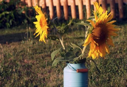 Sunflowers - free stock photo #400185