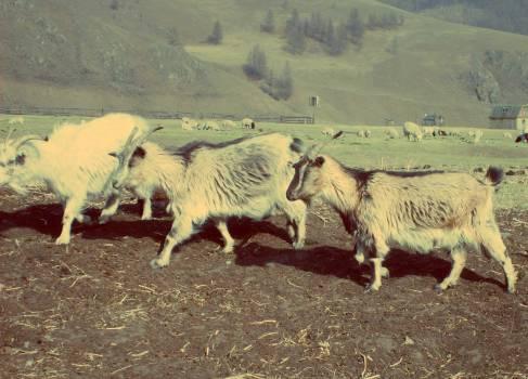 Goats - free stock photo Free Photo