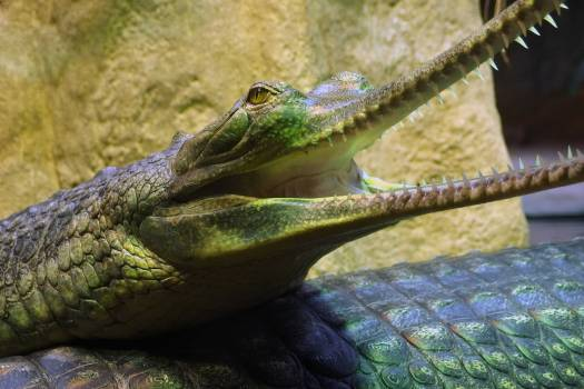 Gharial - free stock photo #400306