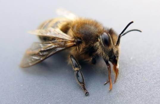 Bee On Macro Photography - free stock photo #400411