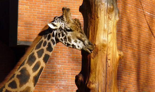 Giraffe - free stock photo #400431