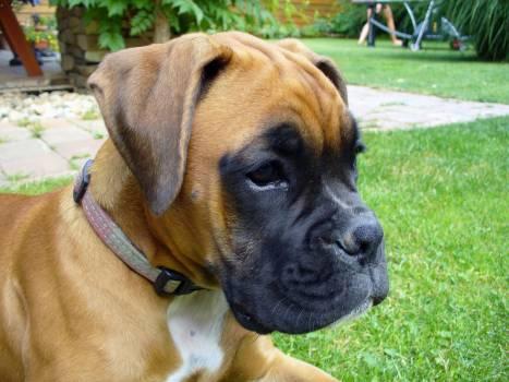 Boxer Puppy - free stock photo #400530