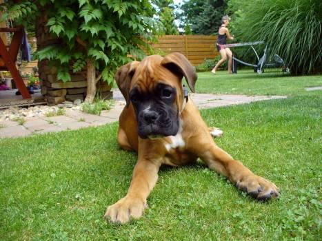 Boxer Puppy - free stock photo #400669