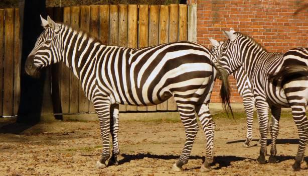 Zebras in Zoo - free stock photo Free Photo