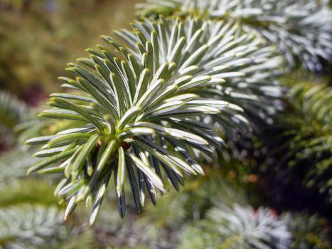 Tree Needles - free stock photo #400719