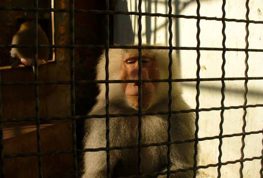 Sad monkey behind bars - free stock photo #400745