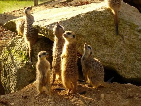 Meerkats - free stock photo #400792