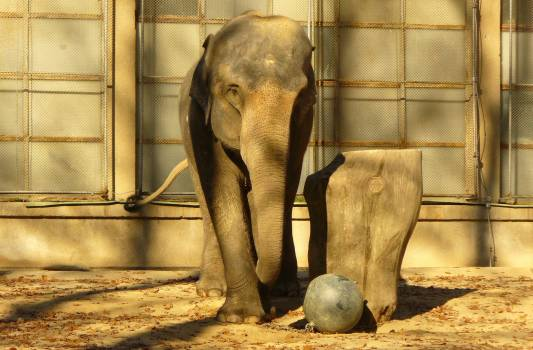 Elephant with iron ball - free stock photo #400825