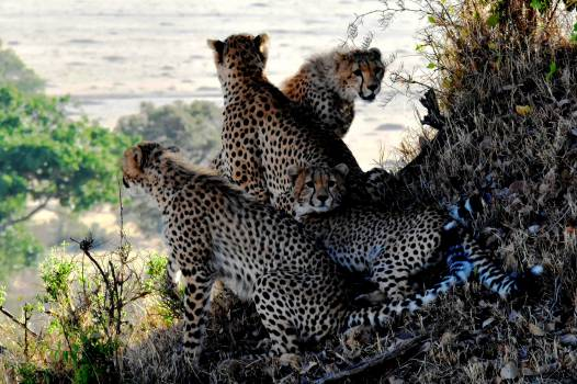 4 Cheetahs Sitting and Lying during Daytine #40084