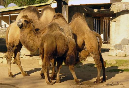 Camels in ZOO - free stock photo Free Photo