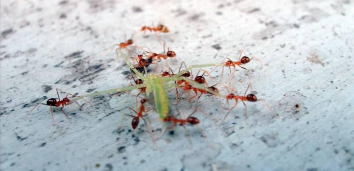Ants eat the grasshopper - free stock photo #400954