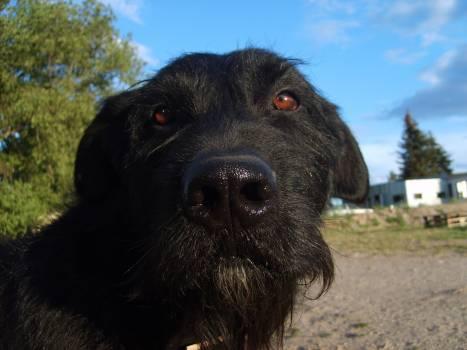Black dog's face - free stock photo #400997
