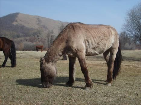 Mongolian horse - free stock photo #401055