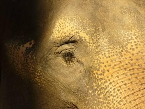 Elephant's eye - free stock photo Free Photo