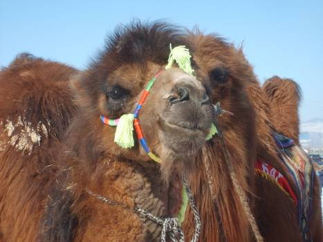 Mongolian racing camel - free stock photo #401083
