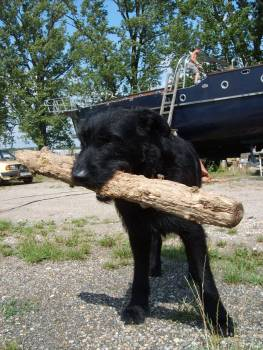 Black dog with a stick - free stock photo #401102