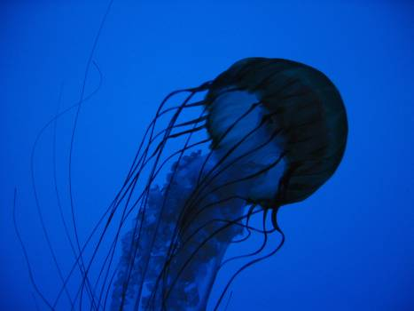 Jellyfish in Blue Water Free Photo Free Photo