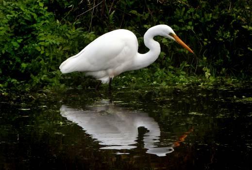 White Heron Free Photo Free Photo