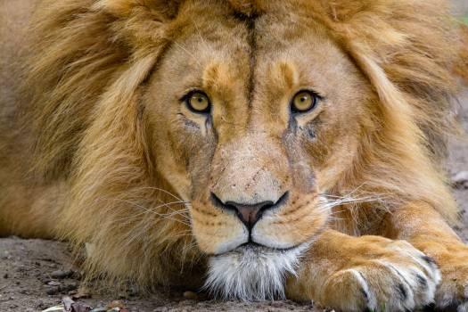 Lion Face Free Photo #401545