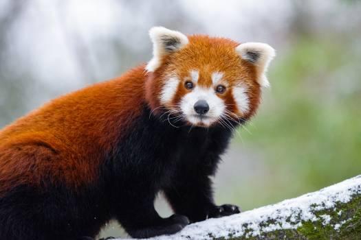 Red Panda Free Photo #401546