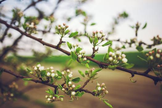 Apple tree flowers #40175