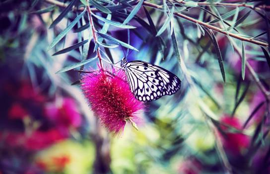 White and Black Butterfly on Red Flower #40194