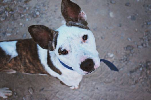 Brown White Dog Free Photo #402019