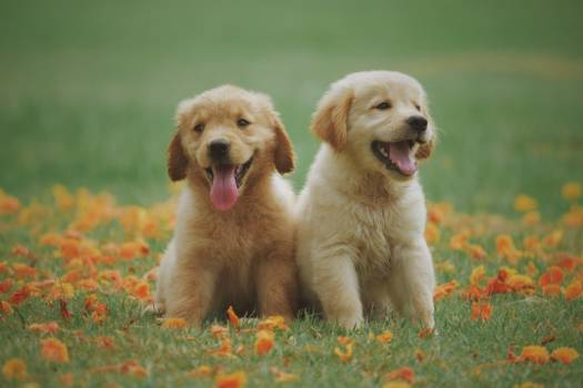 Golden Labrador Puppies Free Photo #402055