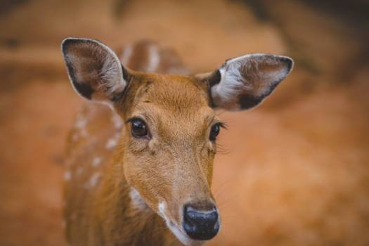Young Cute Antelope Free Photo Free Photo
