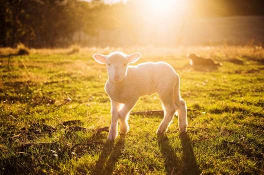 Lamb Spring Sunrise Free Photo #402428