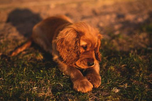 Cocker Spaniel Puppy Free Photo #402547