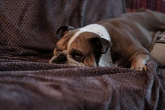 Bulldog Sleep Couch Free Photo #402551