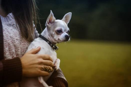 White Tan Smooth Chihuahua #40256