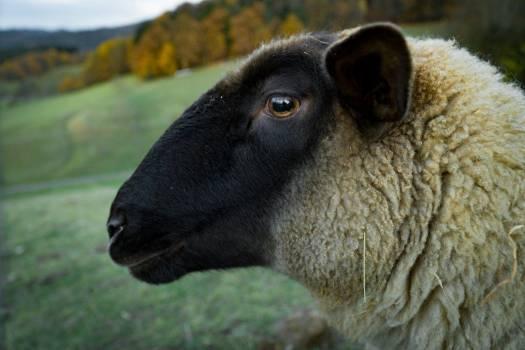 Closeup Sheep Farm Free Photo #402693
