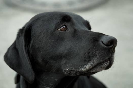 Closeup Sad Black Dog Free Photo #402694