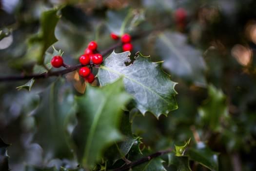 Seasonal Holly Plant Free Photo #402714