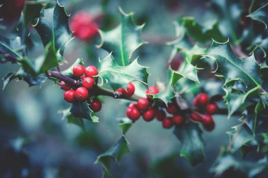 Red Holly Bush Christmas Free Photo #402750