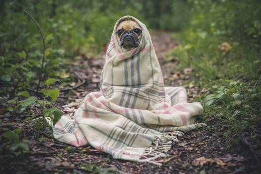 Pug Dog Wrapped Blanket Free Photo #402941