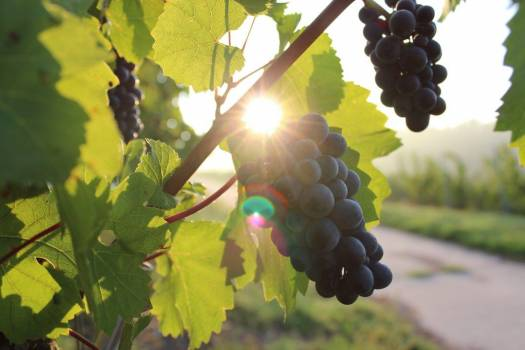 Black Grapes Vine Summer Free Photo #402950
