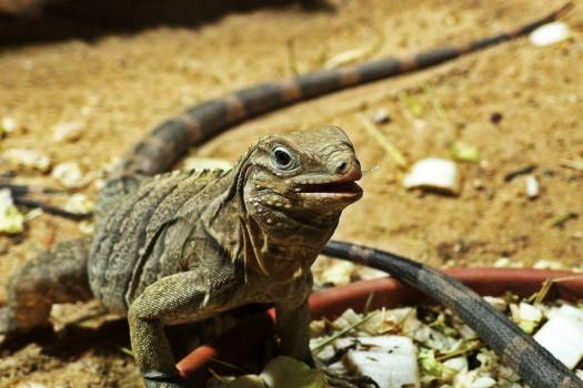Cuban Rock Iguana Reptile Desert Free Photo #402964