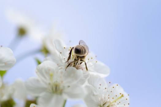 Bee White Flower Blue Free Photo #402972
